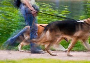 promener des chiens