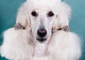 soins des oreilles chien