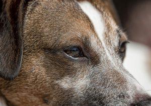 soins des yeux chien
